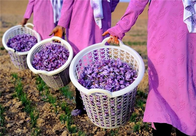 عکاسان بین المللی برداشت زعفران خراسان جنوبی را به تصویر می کشند