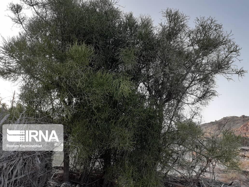 خبرنگاران دی دار درختی نادر با توانایی تولید نفت